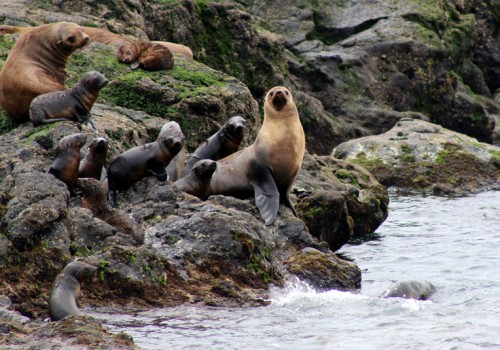 Fur seal family