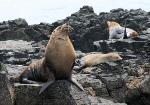 Bull Seal Phillip Island