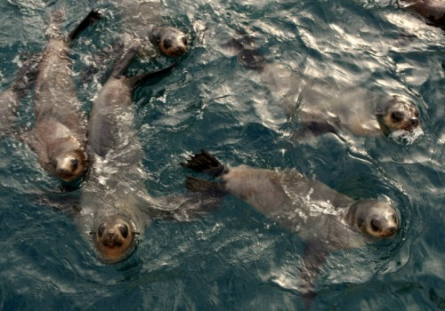 Fur Seals in the water
