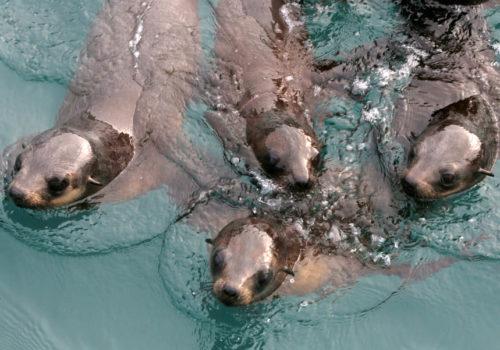 Seal Swimming Upclose