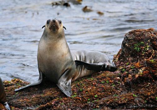 Seal Posing Phillip Island