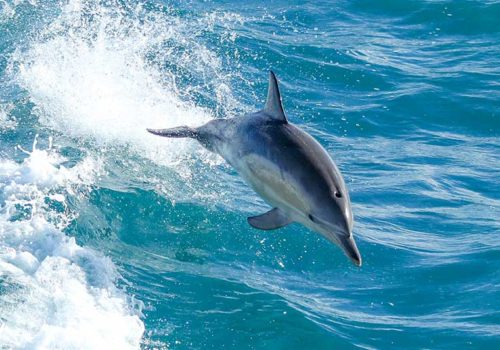Dolphins riding the wake