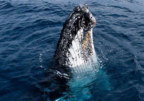 Whale Spyhop